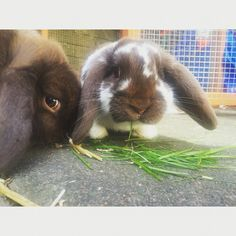 #rabbits #lop #love #pets #grass #eating #happy #garden #home #family
