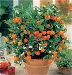 indoor tangerine trees