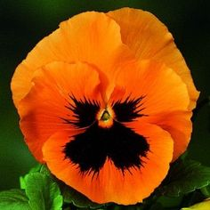 Pansy 'Skyline Orange'- I adore pansies & this one is stunning!