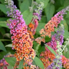 Botanical: Buddleia    Zone: Winter hardy in zones 5 to 9    Type: Perennial    Exposure: Full to Part Sun    Height: 6 to 8 feet    Special: Attracts Butterflies!         Anyone can provide a safe-haven for butterflies and at the same time create a gorgeous midsummer display in the garden. This summer-blooming bush, comes in a rainbow of colors.