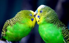 Because budgies are parrots too . Pretty Birds, Love Birds, Beautiful Birds, Birds 2, Beautiful Images, Animals Beautiful, Parrot Wallpaper, Bird Poster, Animals