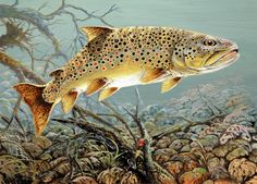 #Fishes #Trout - Beautiful art of a big brown lurking in some good cover. http://www.ablankcanvas.net