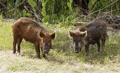 Wild Pig KSC02pd0873 - Sanglier — Wikipédia