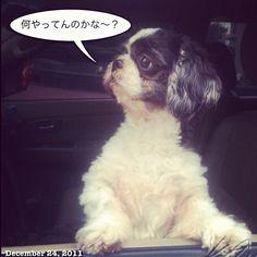 ペッ #shihtzu #dog #philippines
