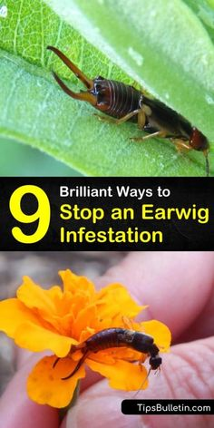 Learn how to prevent an earwig infestation by eliminating damp areas in and around your home. These reddish-brown insects hang out in large numbers in crevices and other hiding places and scavenge on everything from insects to kitchen scraps. Outside Plants, Outdoor Plants, Outdoor Gardens, Earwig Control, Pest Control, Bug Control, Garden Plants Vegetable, Garden Pests, Herbs Garden