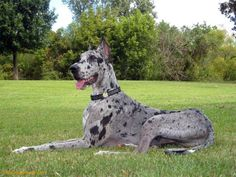 Beautiful great dane Looks like my baby