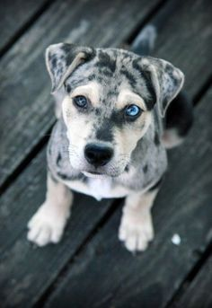 Catahoula leopard puppy - I don't even have a category for how cute this puppy is!! #catahoula