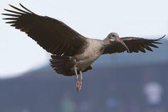 Hadeda ibis      Bostrychia Hagedash