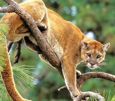 Cougar size is smallest close to the equator, and larger towards the poles. Jungle Pictures, Baby Animals Pictures, Animals And Pets, Wild Animals, Mountain Lion Pictures, Big Cats, Cool Cats, Pumas, Wild Ones