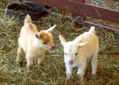 I want goats.saw 2 baby goats once that kept headbutting eachother and it was adorable. Cute Baby Animals, Farm Animals, Animals And Pets, Funny Animals, Cute Creatures, Beautiful Creatures, Wow Photo, A Well Traveled Woman, Cute Goats