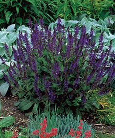 Sage Advice - Fine Gardening Article
