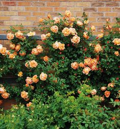 English Roses Lady of Shalott - English Rose Climbers - English roses - bred by David Austin Roses David Austin, David Austin Rosen, Beautiful Roses, Beautiful Gardens, Comment Planter Des Roses, Deadheading Roses, Shrub Roses, Growing Roses, Planting Roses