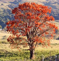 Erythrina Verne (mulungu) tree, native to Brazil Blooming Trees, Flowering Trees, Colorful Trees, Small Trees, Single Tree, Watercolor Trees, Garden Pictures, Photo Tree, Tropical Plants