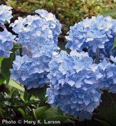 I could plant these everywhere in my garden. They are fragrant and remind me, summer has arrived.