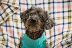 Meet Holly, a Petfinder adoptable Poodle Dog | Rochester, NY | Holly and Bella are the nicest set of poodle sisters you will ever meet! These girls are 8.5 years...