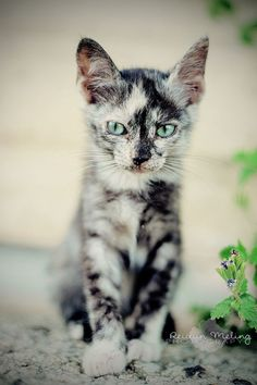 green eyed kitten with a beautiful coat | animals + pet photography #cats