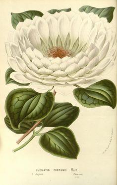 """Clematis fortunei, Hort. -- """"Flore des serres et des jardins de l'Europe"""", v.15 (1862-65), by Louis van Houtte"""
