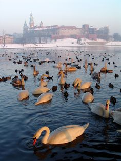 Krakow, - swans are commonly seen on waters throughout Poland - they breed there, and then migrate for the winter. Oh The Places You'll Go, Places To Travel, Places To Visit, Visit Poland, Poland Travel, Krakow Poland, Thinking Day, Central Europe, Monuments
