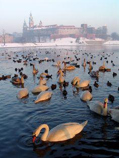 Cracovia, Polonia - cisnes se ven comúnmente en las aguas en toda Polonia - se reproducen allí, y luego migran durante el invierno.