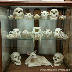 A cabinet of curiosities in the shop of mad taxidermist Rob Reysen. It includes several human skulls, various small mammal skulls and a rare albino fawn born on Rob's farm. - http://www.madtaxidermist.com