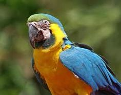 GoldenBlue Macaw.