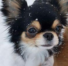 Chihuahua counting snowflakes.. #chihuahua counting snowflakes...