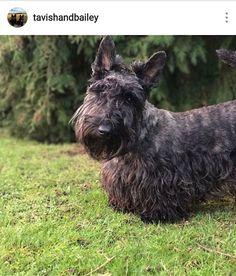 31 Best Brindle Scottish Terrier Images