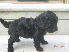 Solid Black Toy Poodle -- 6 Weeks Old -- Holly for Sale in Tioga ...