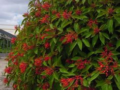 ... Fire Bush http://miamifittv.com/wordpress/hamelia-patens-firebush