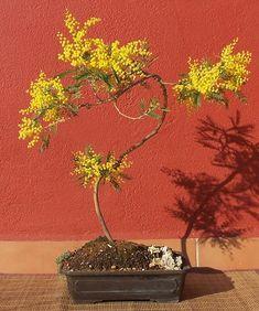 Semi di Mimosa (Acacia dealbata) bonsai