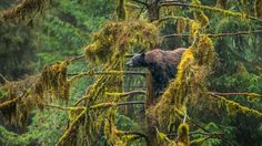 Bing Image Archive: Black bear in the Tongass National Forest of Alaska (© Mark Kelley/Tandem Stills + Motion)(Bing United States) Wallpaper Gallery, Wallpaper Pc, Tongass National Forest, American Black Bear, Image Of The Day, Daily Photo, Exotic Pets, Brown Bear, Natural Wonders