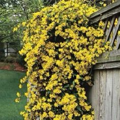 Carolina jessamine.  Evergreen, fast growing vine. Not reliably deer resistant here. Blooms February-March. Flowers smell like baby powder!