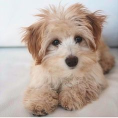 Hello and welcome to the Friday edition of DoodleTales! The first feature is Benji, a Coton de Tulear/Poodle mix from NYC! Coton De Tulear, Cavapoo, Poodle Mix, Cool Pets, Beast, Paradise, Nyc, Teddy Bear, Puppies