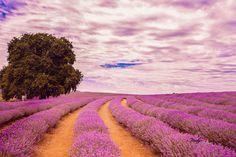 """Bridestowe Lavender Estate, Tasmania"" by Tedy Himawari Pham-Tran - Photo 140538773 - 500px"