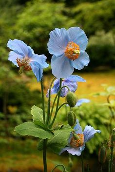 Himalayan blue poppy is hardy in most of the United Kingdom, and it has striking large blue flowers. It probably owes much of its success to the fact that, unlike most Meconopsis, it is a perennial. Amazing Flowers, My Flower, Purple Flowers, Flower Power, Wild Flowers, Beautiful Flowers, Poppy Flowers, Cactus Flower, Exotic Flowers