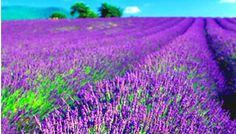How to grow Lavender from seeds.