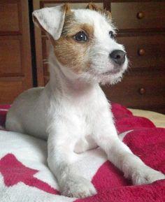 animal | dog | puppy | russel terrier
