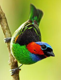 Foto saíra-militar (Tangara cyanocephala) por Fabio Nunes | Wiki Aves - A Enciclopédia das Aves do Brasil