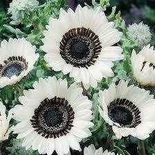 White cape daisys
