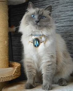Siberian cat, Neva Masquerade, Avel, blue point, golden collar, spectrolite, aquamarine, gold, silver, jewellery, cat