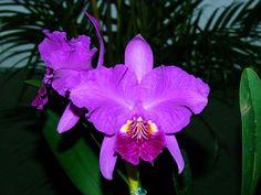 Clasica Orquideas Venezolanas