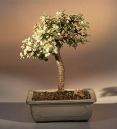 """Baby Jade Medium Bonsai Tree - Variegated (portulacaria afra variegata) This succulent bonsai, also known as the """"Elephant Bush"""", is native to South Africa and has leaves that are almost round and about one-third the size of the common Jade plant Buy Bonsai Tree, Bonsai Tree Types, Indoor Bonsai Tree, Bonsai Trees, Mini Bonsai, Jade Bonsai, Succulent Bonsai, Outdoor Plants, Indoor Outdoor"""
