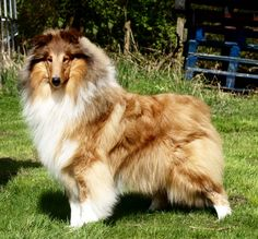 AISLING - WICANI: The home of happy collies!