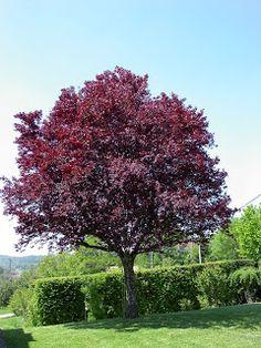 prunus cerasifera pissardii roze/witte bloem rood blad
