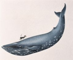 There are many interesting characteristics about the blue whale. It is the largest mammal on earth. Look at the things i have posted for more info: Blue Whale Whale Song, Whale Art, Large Animals, Animals And Pets, Blue Whale Size, Baby News, Fauna Marina, Whale Tattoos, Wale