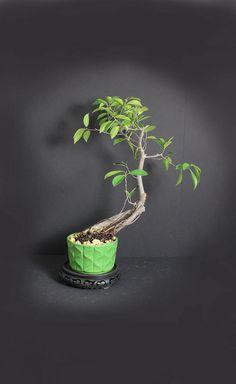 96 Best Beringin Images In 2019 Bonsai Trees Bonsai Art Bonsai