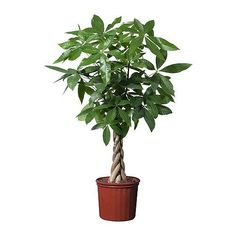 Money Tree plant (Pachira aquatica) is a popular feng shui plant. Learn how to grow and care for a Pachira aquatica at Hanging Plants, Potted Plants, Indoor Plants, Plant Pots, Hanging Baskets, Air Plants, Pachira Aquatica, Easy Care Plants, Permaculture