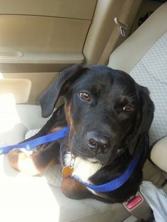 Mango is a sweet Rottie/Lab mix who we think is 7 months old. He is a shy boy at first, but once he warms up to you, he is your best bud. He is looking for his forever home in Wilmington NC. #adoptdontshop #dogs