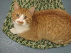 Sucre is an adoptable Domestic Short Hair - Orange And White Cat in Torrington, WY. Sucre is very active and curious about everything. When picked up, he gives hugs and kisses. Less than a year old,... He has a moustache!