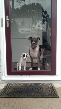 Welcome! #boxerdogs #puppy